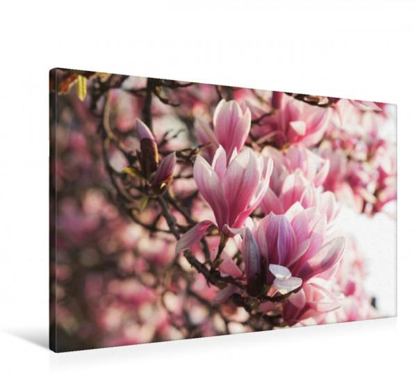 Wandbild Magnolien Blüten Zauber im Frühling rosa Weiß Pastell Farben vor blauem Himmel das sind die Farbtupfer im Frühling die Magnolien in der Blüte Zauber im Frühling rosa Weiß Pastell Farben vor b