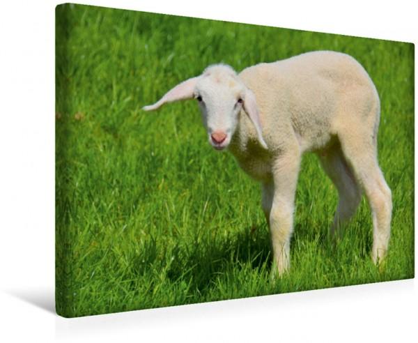 Wandbild Lamm Lamm auf der grünen Wiese Lamm auf der grünen Wiese