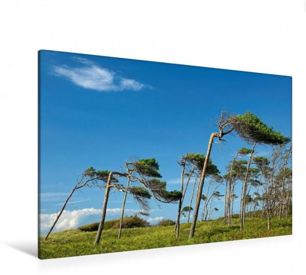 Wandbild Windflüchter am Weststrand Darß