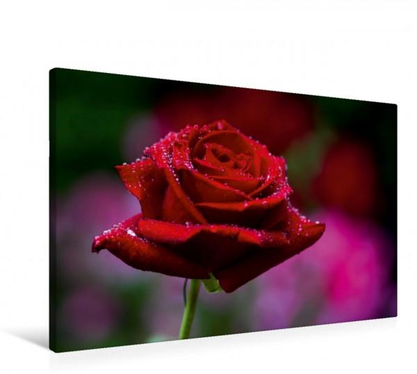 Wandbild Verliebt Portrait einer Rose Portrait einer Rose