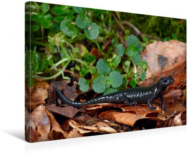 Wandbild Alpensalamander Salamandra atra Salamandra atra