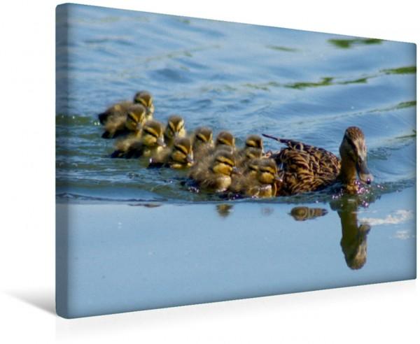 Wandbild Stockenten Familie Enten und Wasservögel Enten und Wasservögel