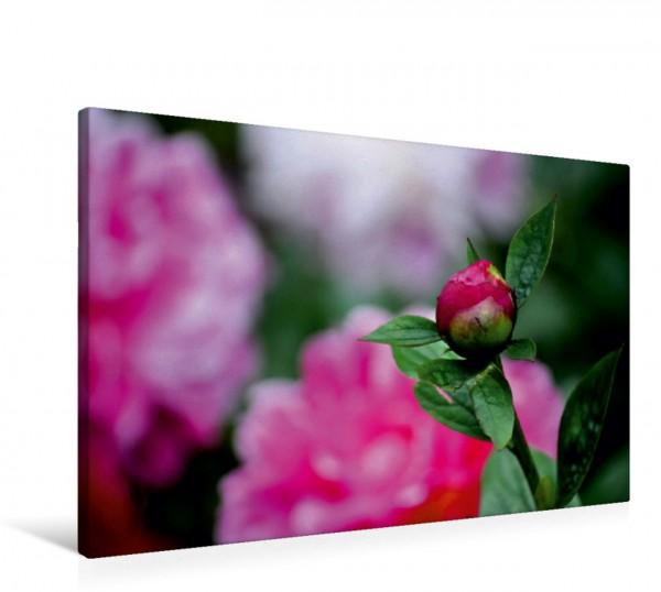 Wandbild Geduld Pfingstrose auf der Rosenhöhe Pfingstrose auf der Rosenhöhe
