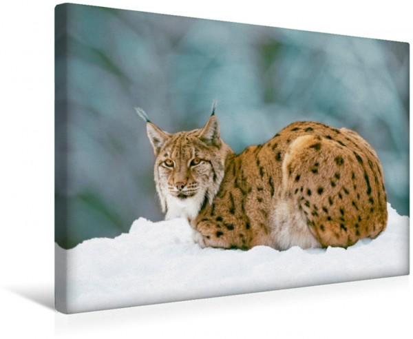 Wandbild Coole Katze –. Wunderschöner Luchs im Winter Luchs Lynx lynx im Winter Bayerischer Wald Deutschland Luchs Lynx lynx im Winter Bayerischer Wald Deutschland