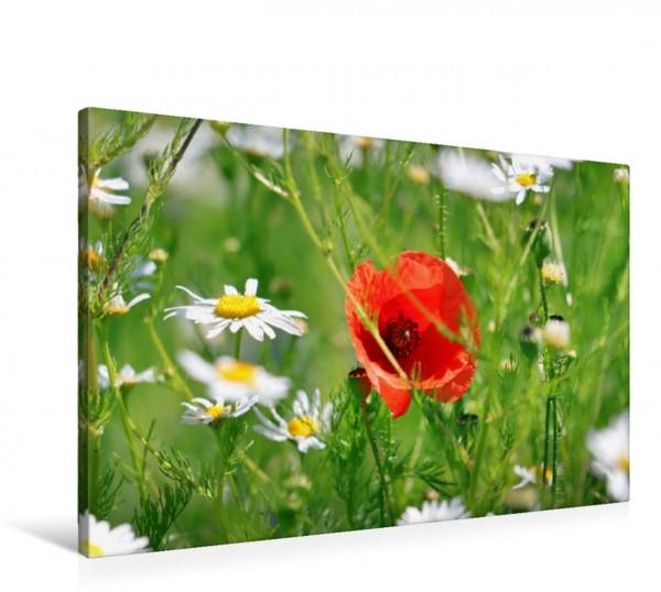 Wandbild Roter Mohn und Margeriten Mohn zarte Blüten starke Farben Mohn zarte Blüten starke Farben