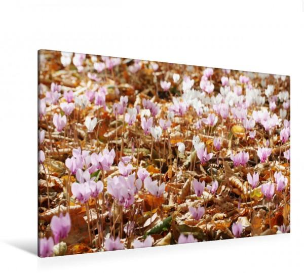 Wandbild Wilde Zyclamen Blüten im Herbstlaub Blüten im Herbstlaub