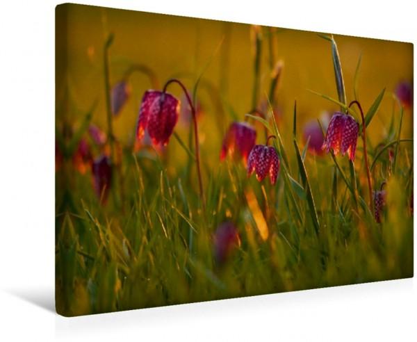Wandbild Kleine Laternen - Schachbrettblumen im Abendlicht
