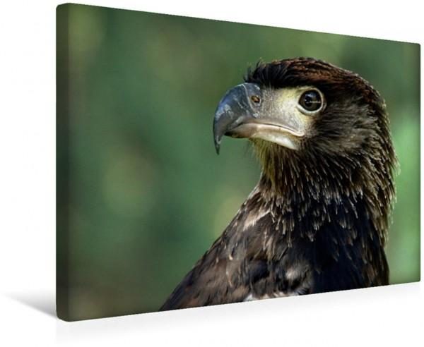 Wandbild Greifvögel - Afrikanischer Schreiseeadler