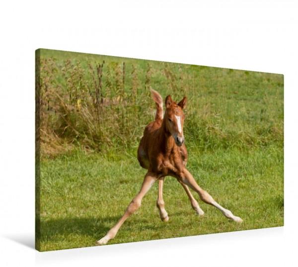 Wandbild Lustiges Pferdekind Fohlen Fohlen