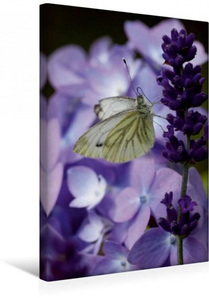 Wandbild Rapsweißling am Lavendel
