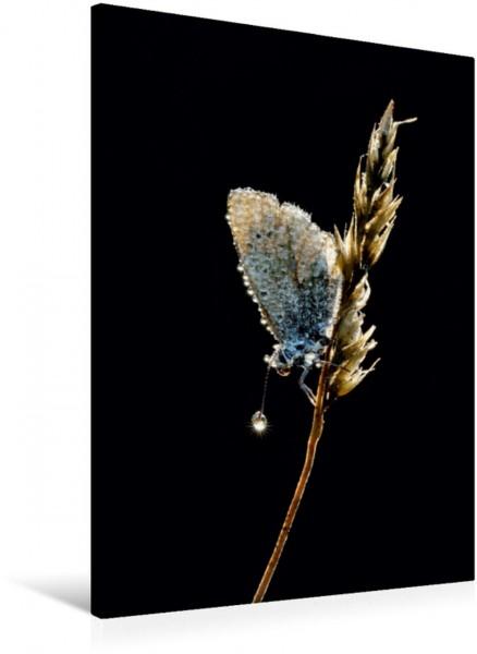 Wandbild Lichtspiele - Bläuling Bläuling - Lycaenidae Bläuling - Lycaenidae