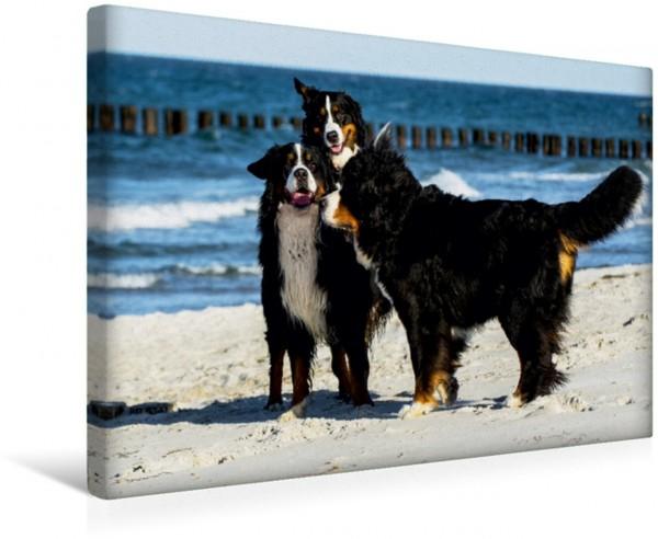 Wandbild Berner Sennenhunde am Strand