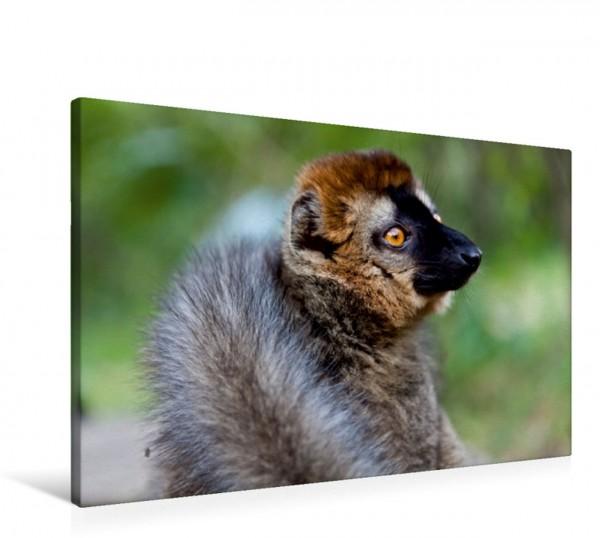 Wandbild Brauner Lemur Madagaskar Traumhafte Natur und Tierwelt Madagaskar Traumhafte Natur und Tierwelt