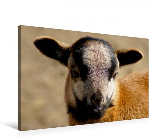 Wandbild Kamerunschaf Lämmchen Schafe und Haustiere Schafe und Haustiere