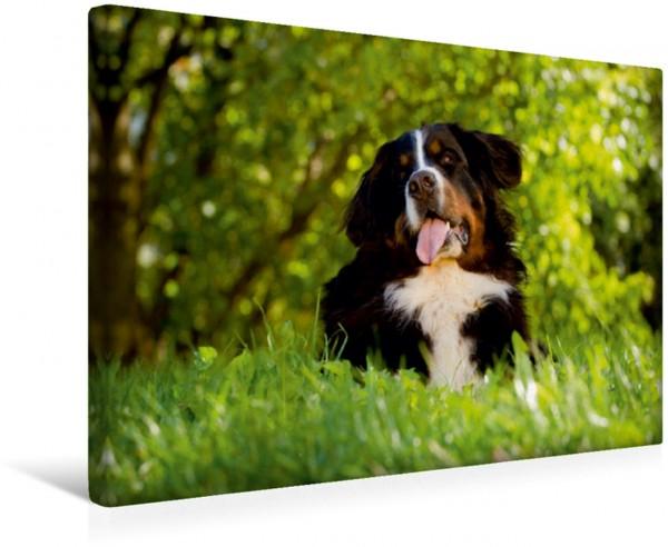 Wandbild Berner Sennenhund