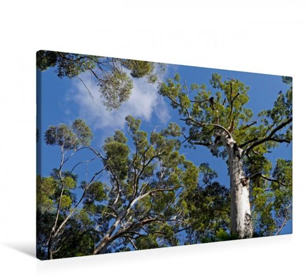 Wandbild Eukalyptuswald am Mount Frankland