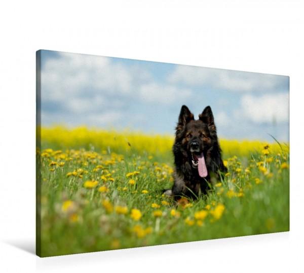 Wandbild Langstockhaarschäferhund Falk im Frühling Falk im Frühling