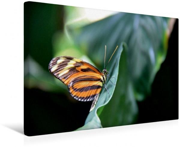 Wandbild Passionsblumenfalter Schmetterlinge der Tropen bieten eine große Vielfalt an Form Farbe und Erscheinung. Schmetterlinge der Tropen bieten eine große Vielfalt an Form Farbe und Erscheinung.