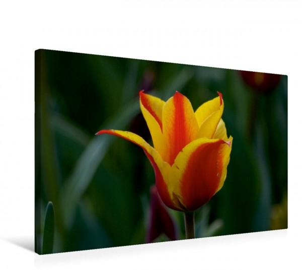 Wandbild Rot gelbe Tulpenblüte Tulpen und Fühling Tulpen und Fühling