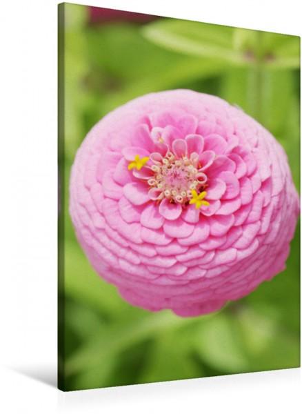 Wandbild Rosa Zinnie Dicke Blütenkugel Dicke Blütenkugel
