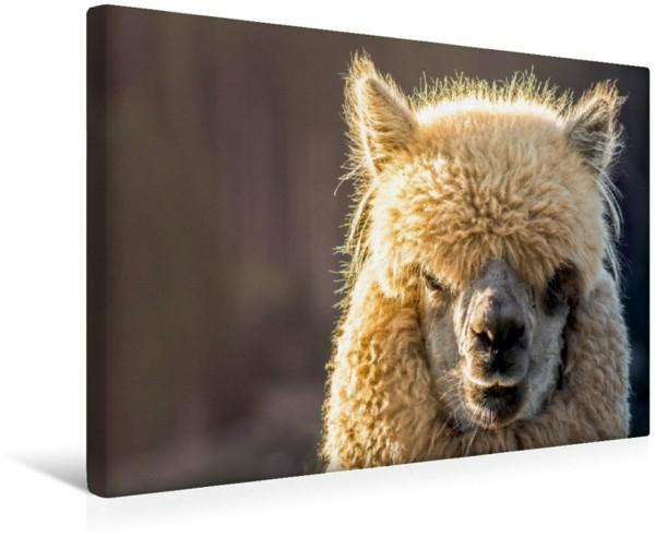 Wandbild Flauschiges Alpaka Porträt eines flauschigen Alpakas Porträt eines flauschigen Alpakas