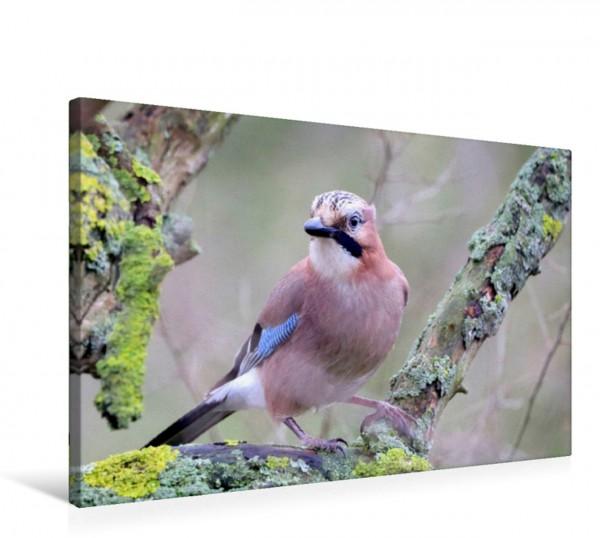 Wandbild Vögel aus Wald und Garten - Der Eichelhäher