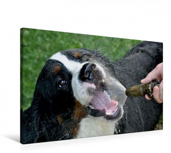 Wandbild WAUZEBAER den Berner Sennenhund