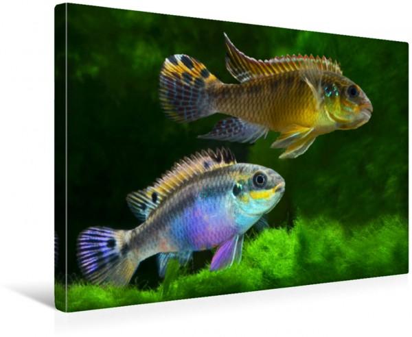 Wandbild Pelvicachromis taeniatus