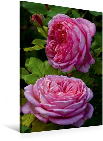 Wandbild Englische Rose, Pink Englische Rose Pink Englische Rose Pink