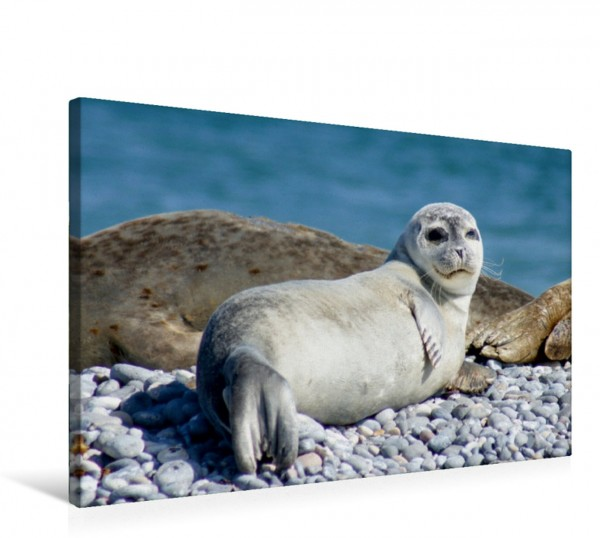 Wandbild Junger Seehund Helgoland Helgoland