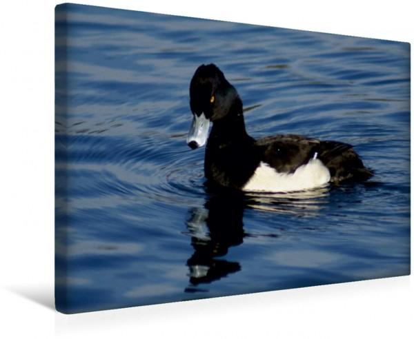Wandbild Reiherente Aythya fuligula männlich Enten und Wasservögel Enten und Wasservögel