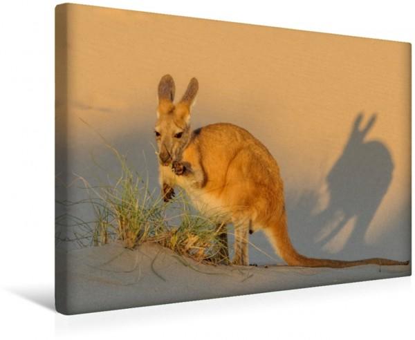 Wandbild Känguru beim Fressen im Abendlicht Kängururs und Wallabys Kängururs und Wallabys