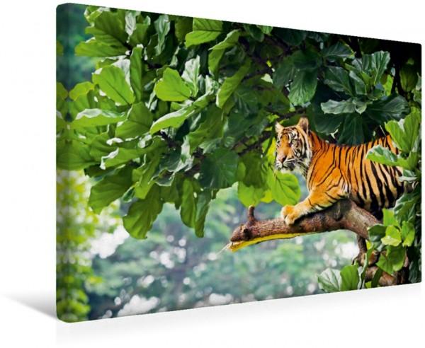Wandbild Logenplatz vom Feinsten – Sumatratiger auf einem Baum Sumatratiger Indonesien Sumatratiger Indonesien