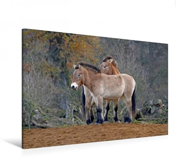 Wandbild Przewalski-Pferde