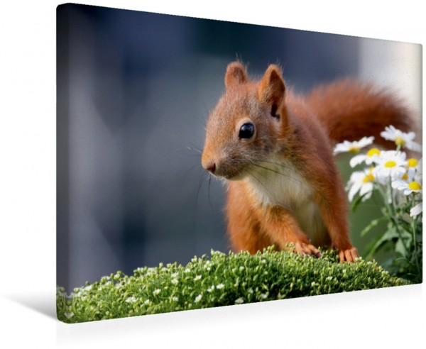 Wandbild Quirliger Nachwuchs Eichhörnchen Momentaufnahmen fürs Herz Eichhörnchen Momentaufnahmen fürs Herz