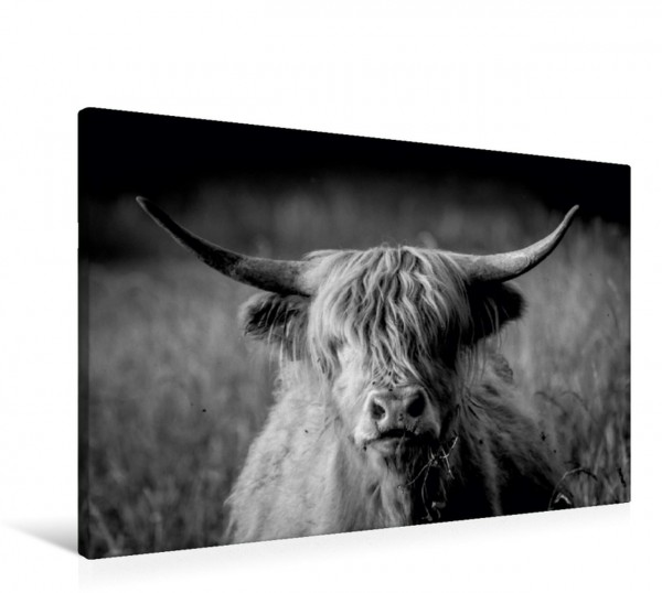 Wandbild Schottisches Hochlandrind Tierische Augenblicke Tierische Augenblicke