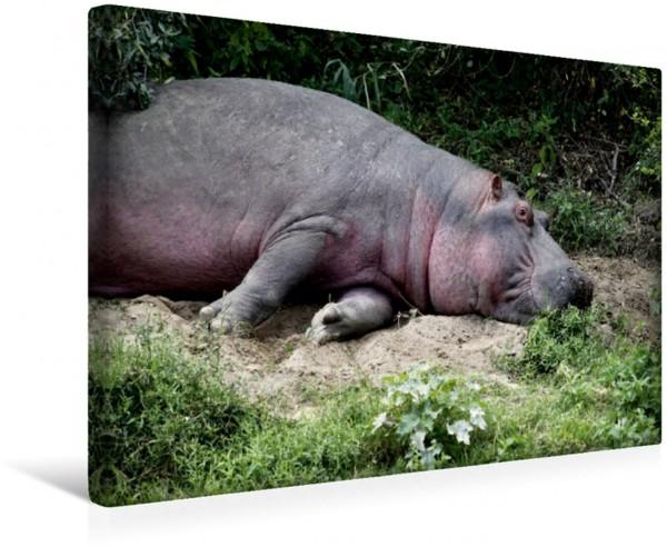 Wandbild Flusspferde – Mittagsruhe Die im südlichen Afrika lebenden Landsäugetiere können trotz ihrer Schwerfälligkeit kurzzeitig bis zu 50 Kilometer pro Stunde schnell sein. Die im südlichen Afrika l