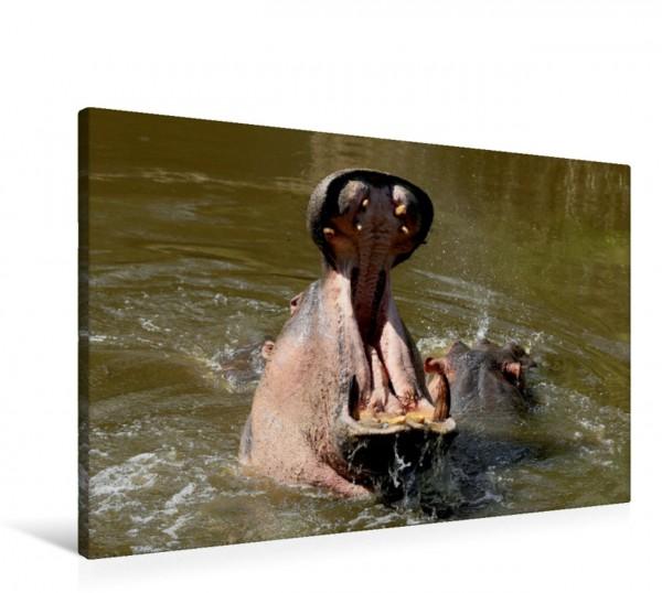 Wandbild Flusspferde – Hippo-Schlund Die im südlichen Afrika lebenden Landsäugetiere können trotz ihrer Schwerfälligkeit kurzzeitig bis zu 50 Kilometer pro Stunde schnell sein. Die im südlichen Afrika