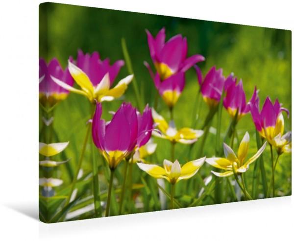 Wandbild Wildtulpen Liebenswerte Frühlingsboten Liebenswerte Frühlingsboten