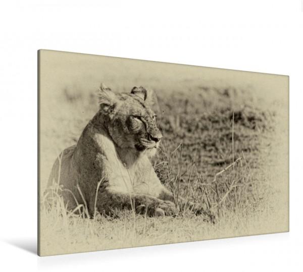 Wandbild auf Katzensuche Erholung in der Masai Mara Erholung in der Masai Mara