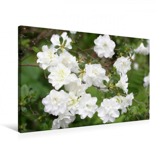Wandbild Gefüllte weiße Azaleenblüten