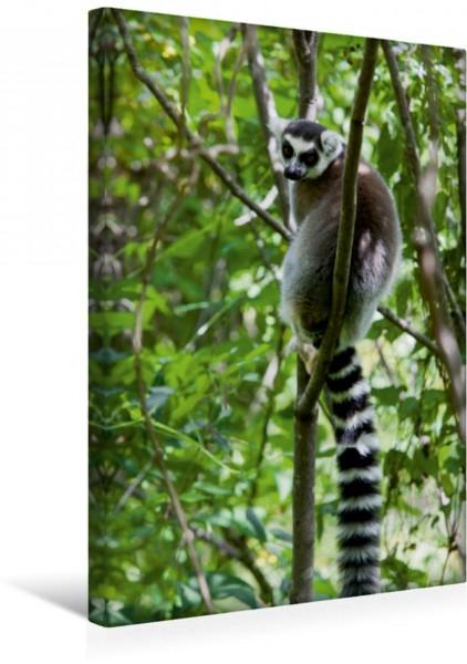 Wandbild Katta Lemur auf Madagaskar
