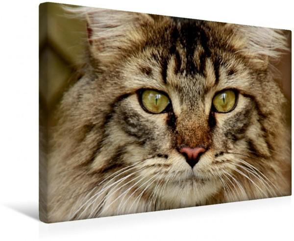 Wandbild Katzen - Maine Coon