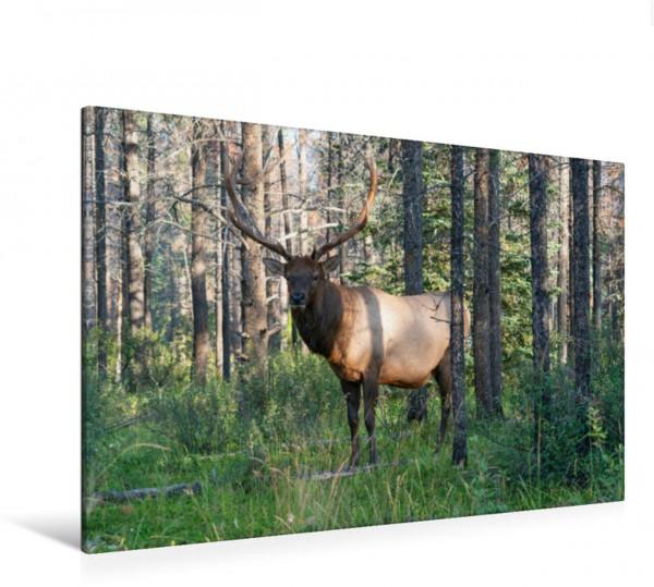 Wandbild Kapitaler Wapiti Hirsch in den Wäldern der Rocky Mountains in Kanada Wapiti Cervus canadensis Wapiti Cervus canadensis