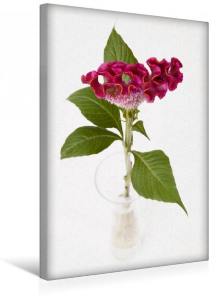 Wandbild rote Celosia rote Celosia in Vase auf weißem Hintergrund rote Celosia in Vase auf weißem Hintergrund