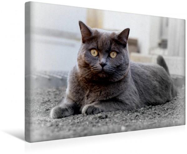 Wandbild Britischkurzhaar-Katze. Ein`Graue Engel BKH-Katze Lady zufrieden BKH-Katze Lady zufrieden