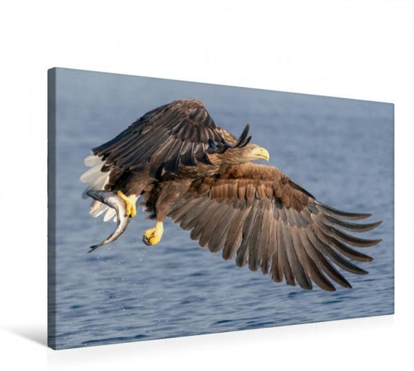 Wandbild Seeadler Nur selten packt der Seeadler mit einem Fang. Normalerweise packt er den Fisch mit beiden Fängen. Nur selten packt der Seeadler mit einem Fang. Normalerweise packt er den Fisch mit b