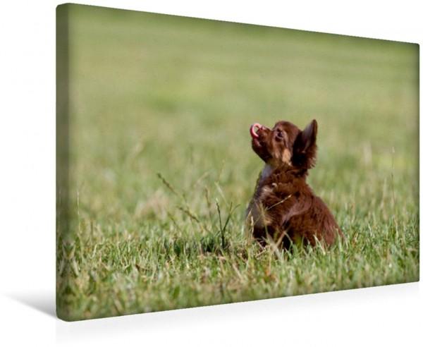 Wandbild Chihuahuas - kleine Herzensbrecher