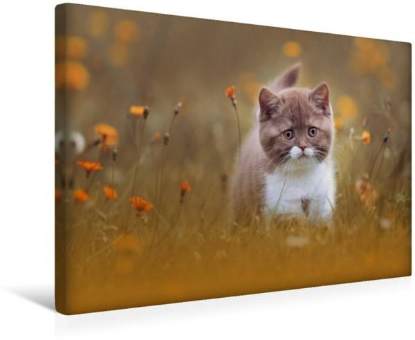 Wandbild Katzen Katzenkinder - Britisch Kurzhaar Leinwandbild
