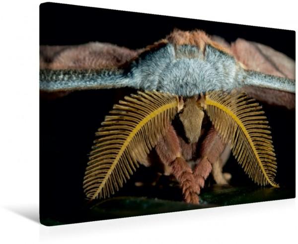 Wandbild Tussaspinner Antheraea mylitta, Asien Männchen mit stark gefiederten Antennen Männchen mit stark gefiederten Antennen